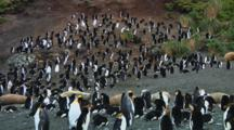 View Of A Colony Of Royal Penguins (Eudyptes Schlegeli) On Macquarie Island
