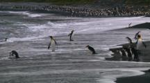 King Penguins (Aptenodytes Patagonicus) And Royal Penguins (Eudyptes Schlegeli) Walking Into And Out Of The Ocean On Macquarie Island