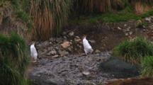 Royal Penguins (Eudyptes Schlegeli) Walking On The Beach Of Macquarie Island
