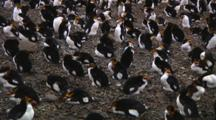 Royal Penguins (Eudyptes Schlegeli) Waking Up In A Colony On Macquarie Island