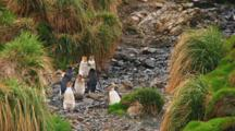 Royal Penguins (Eudyptes Schlegeli) Walking Up And Down A Hill On Macquarie Island