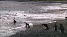 Royal Penguins (Eudyptes Schlegeli) Walking Into The Ocean On Macquarie Island