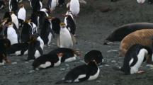 Royal Penguin (Eudyptes Schlegeli) Walking On The Beach On Macquarie Island