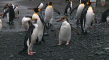 Royal Penguins (Eudyptes Schlegeli) Fighting On The Beach On Macquarie Island