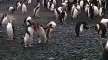 Royal Penguins (Eudyptes Schlegeli) On The Beach Of Macquarie Island
