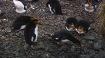 Royal Penguins (Eudyptes Schlegeli) On Their Nest On Macquarie Island
