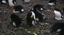 Royal Penguin (Eudyptes Schlegeli) Sleeping In A Colony On Macquarie Island