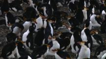 Royal Penguin (Eudyptes Schlegeli) Lost In The Colony On Macquarie Island