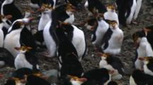 Royal Penguin (Eudyptes Schlegeli) Walking In The Colony On Macquarie Island