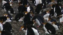 Royal Penguins (Eudyptes Schlegeli) Greeting On Their Nest On Macquarie Island