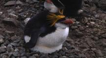 Royal Penguin (Eudyptes Schlegeli) On Its Nest On Macquarie Island