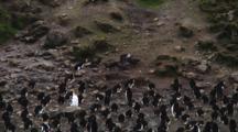 Brown Skua (Stercorarius Lonnbergi) Feeding On A Penguin Egg On Macquarie Island