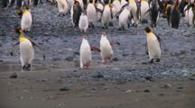 Royal Penguins (Eudyptes Schlegeli) Walking On The Beach On Macquarie Island