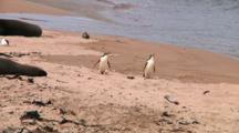Two Yellow-Eyed Penguins (Megadyptes Antipodes) Walking On The Beach Of Enderby Island
