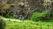 Two Yellow-Eyed Penguins (Megadyptes Antipodes) Walking On The Grass Of Enderby Island