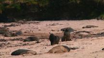 Hooker Or New Zealand Sea Lions (Phocarctos Hookeri) Walking On The Beach Of Enderby Island