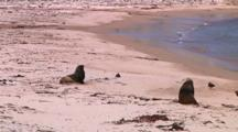 Hooker Or New Zealand Sea Lion (Phocarctos Hookeri) On The Beach Of Enderby Island