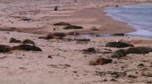 Hooker Or New Zealand Sea Lions (Phocarctos Hookeri) Relaxing On The Beach Of Enderby Island