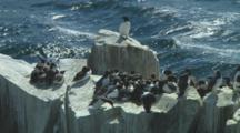 Colony Of Guillemots On Top Of Cliff