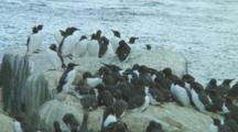Colony Of Guillemots Sitting On The Rocks