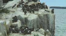 Colony Of Guillemots On Edge Of Cliff