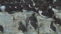 Colony Of Guillemots Roost On Edge Of Cliff