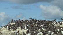 Colony Of Guillemots, One Comes In For Landing