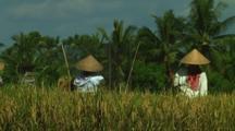 Rice Farmers Harvesting On Bali, Indonesia