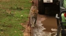 Leopard Walks Next To Of Safari Vehicles
