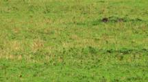 Cheetah In Serengeti NP, Tanzania