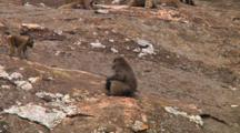 Olive Baboon Sitting On A Kopje In Serengeti NP, Tanzania