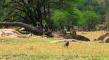 Olive Baboon In Serengeti NP, Tanzania