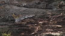 Klipspringers In Serengeti NP, Tanzania