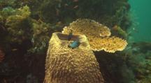 Domino Fish In The Bali Sea