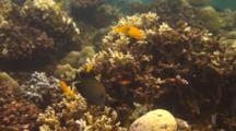 Golden Damselfish In The Bali Sea
