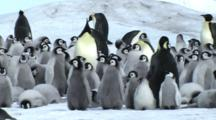 Emperor Penguin Chicks Waiting For Their Parents To Return With Food