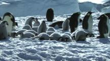Emperor Penguin Chicks Resting On The Sea Ice