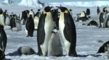 Emperor Penguin Family Near Snow Hill, Antarctica
