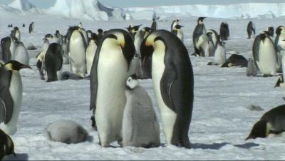 Emperor Penguin Family Near Snow Hill,Antarctica