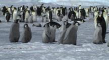 Emperor Penguin Chicks Running To Meet Their Parents