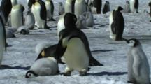 Emperor Penguin Lying Down On The Edge Of The Colony