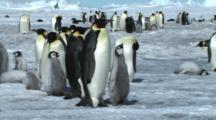 Emperor Penguin Leading Its Chick Away From The Colony