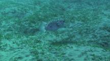 Blackspotted Pufferfish (Arothron Stellatus) Swimming In The Red Sea