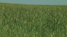 Young Wheat Field Background
