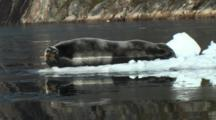 Bearded Seal Resting On An Ice Floe In Greenland