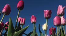 Tulips (Tulipa Hemisphere) In A Field In The Netherlands