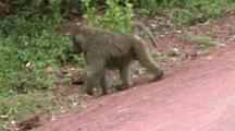 Baboon Walking On A Dirt Road In Lake Manyara Np