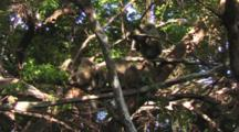 Baboons Relaxing In A Tree In Lake Manyara NP