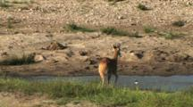 Reetbuck In A Dried-Up River In The Serengeti