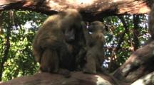 Baboons Resting In A Tree In Lake Manyara NP